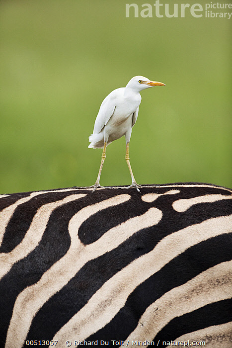 Cattle Egret (Bubulcus ibis) on Burchell's Zebra (Equus burchellii), Rietvlei Nature Reserve, Gauteng, South Africa, Adult, Bubulcus ibis, Burchell's Zebra, Cattle Egret, Close Up, Color Image, Commensal, Day, Equus burchellii, Front View, Full Length, Gauteng, Nature Pattern, Nobody, Outdoors, Photography, Rietvlei Nature Reserve, Side View, South Africa, Standing, Striped, Two Animals, Vertical, Wading Bird, Wildlife,Cattle Egret,Burchell's Zebra,Equus burchellii,South Africa, Richard Du Toit