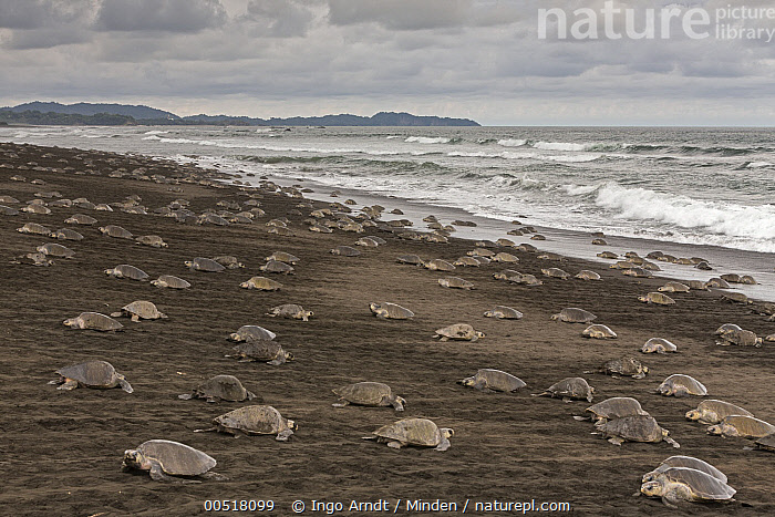 Olive Ridley Sea Turtle (Lepidochelys olivacea) females coming ashore to lay eggs during an arribada nesting event, Ostional Beach, Costa Rica  ,  Adult, Animal in Habitat, Animal in Landscape, Arribada, Beach, Cloudy, Coming Ashore, Color Image, Costa Rica, Day, Female, Full Length, Horizontal, Large Group of Animals, Lepidochelys olivacea, Nesting Colony, Nobody, Olive Ridley Sea Turtle, Ostional Beach, Outdoors, Photography, Side View, Threatened Species, Vulnerable Species, Wildlife,Olive Ridley Sea Turtle,Costa Rica  ,  Ingo Arndt