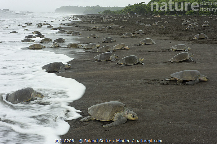 Olive Ridley Sea Turtle (Lepidochelys olivacea) females coming ashore to lay eggs during an arribada nesting event, Ostional Beach, Costa Rica  ,  Adult, Animal in Habitat, Arribada, Beach, Coast, Coming Ashore, Color Image, Costa Rica, Day, Female, Full Length, Horizontal, Large Group of Animals, Lepidochelys olivacea, Nesting Colony, Nobody, Olive Ridley Sea Turtle, Ostional Beach, Outdoors, Photography, Side View, Surf, Threatened Species, Vulnerable Species, Wildlife,Olive Ridley Sea Turtle,Costa Rica  ,  Roland Seitre