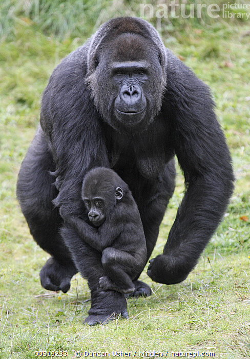 Western Lowland Gorilla (Gorilla gorilla gorilla) mother walking with young holding on, Arnhem, Netherlands  ,  Adult, Approaching, Arnhem, Baby, Captive, Carrying, Clinging, Color Image, Critically Endangered Species, Day, Endangered Species, Female, Front View, Full Length, Gorilla gorilla gorilla, Humor, Mother, Netherlands, Nobody, Outdoors, Parent, Parenting, Photography, Riding, Two Animals, Vertical, Walking, Western Lowland Gorilla, Wildlife, Young,Western Lowland Gorilla,Netherlands  ,  Duncan Usher