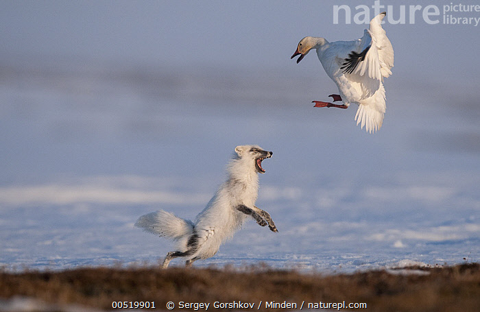 Arctic Fox (Alopex lagopus) chasing Snow Goose (Chen caerulesens) off its nest, Wrangel Island, Russia, Adult, Alopex lagopus, Arctic Fox, Arctic, Attacking, Chasing, Chen caerulescens, Color Image, Competition, Day, Defending, Defensive Posture, Flying, Foraging, Full Length, Horizontal, Interacting, Motion, Nobody, Outdoors, Photography, Predator, Russia, Side View, Snow Goose, Two Animals, Waterfowl, Wildlife, Wrangel Island,Arctic Fox,Snow Goose,Chen caerulescens,Russia, Sergey Gorshkov
