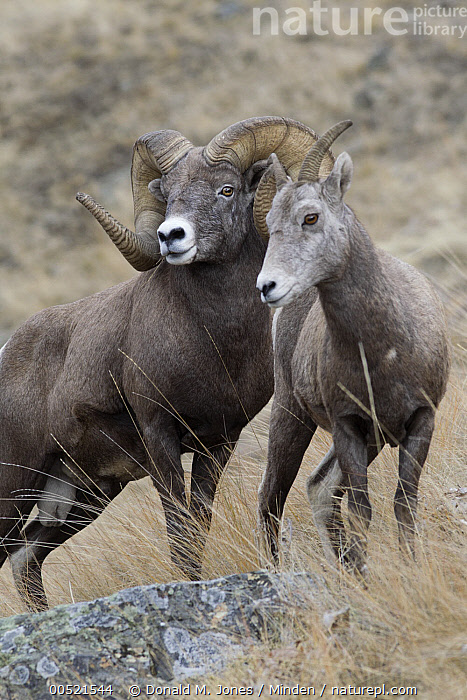 Bighorn Sheep (Ovis canadensis) ram and female, western Montana, Adult, Bighorn Sheep, Color Image, Day, Dimorphic, Female, Front View, Full Length, Male, Montana, Nobody, Outdoors, Ovis canadensis, Photography, Ram, Two Animals, Vertical, Waist Up, Wildlife,Bighorn Sheep,Montana, USA, Donald M. Jones