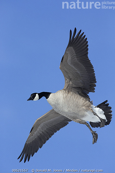 Canada Goose (Branta canadensis) flying, central Montana, Adult, Branta canadensis, Canada Goose, Color Image, Day, Flying, Full Length, Montana, Nobody, One Animal, Outdoors, Photography, Side View, Vertical, Waterfowl, Wildlife,Canada Goose,Montana, USA, Donald M. Jones