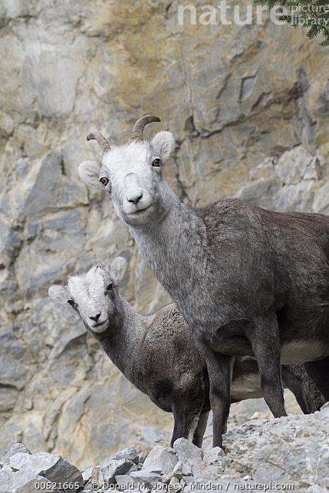 Stone Sheep (Ovis dalli stonei) mother and lamb, northern British Columbia, Canada, Adult, Baby, British Columbia, Canada, Color Image, Day, Ewe, Female, Lamb, Looking at Camera, Low Angle View, Mother, Nobody, Outdoors, Ovis dalli stonei, Parent, Photography, Side View, Stone Sheep, Two Animals, Vertical, Waist Up, Wildlife,Stone Sheep,Canada, Donald M. Jones