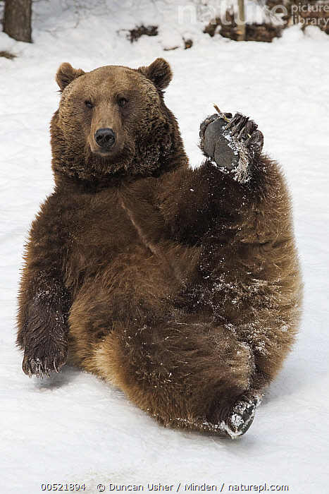 Brown Bear (Ursus arctos) lying in snow and holding its paw, Germany  ,  Adult, Brown Bear, Captive, Color Image, Day, Front View, Full Length, Germany, Lying, Nobody, One Animal, Outdoors, Photography, Snow, Ursus arctos, Vertical, Wildlife, Winter,Brown Bear,Germany,Adult, Brown Bear, Captive, Color Image, Day, Front View, Full Length, Germany, Lying, Nobody, One Animal, Outdoors, Photography, Snow, Ursus arctos, Vertical, Wildlife, Winter  ,  Duncan Usher