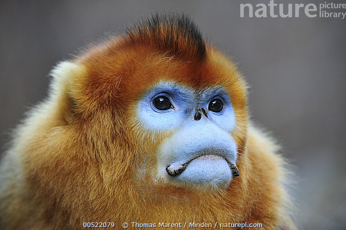 Golden Snub-nosed Monkey (Rhinopithecus roxellana) male, Qinling Mountains, Shaanxi, China  ,  Adult, Blue, China, Color Image, Day, Endangered Species, Front View, Frowning, Golden Snub-nosed Monkey, Head and Shoulders, Horizontal, Male, Nobody, One Animal, Outdoors, Photography, Portrait, Qinling Mountains, Rhinopithecus roxellana, Shaanxi, Wildlife,Golden Snub-nosed Monkey,China,Adult, Blue, China, Color Image, Day, Endangered Species, Front View, Frowning, Golden Snub-nosed Monkey, Head and Shoulders, Horizontal, Male, Nobody, One Animal, Outdoors, Photography, Portrait, Qinling Mountains, Rhinopithecus roxellana, Shaanxi, Wildlife  ,  Thomas Marent