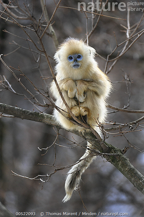 Golden Snub-nosed Monkey (Rhinopithecus roxellana) young, Qinling Mountains, Shaanxi, China  ,  Arboreal, Backlighting, Baby, China, Color Image, Cute, Day, Endangered Species, Front View, Full Length, Golden Snub-nosed Monkey, Looking at Camera, Nobody, One Animal, Outdoors, Photography, Qinling Mountains, Rhinopithecus roxellana, Shaanxi, Vertical, Wildlife, Young,Golden Snub-nosed Monkey,China  ,  Thomas Marent