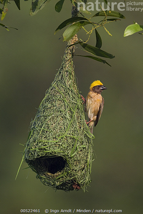 Baya Weaver (Ploceus philippinus) male on unfinished nest, Singapore  ,  Adult, Baya Weaver, Building, Color Image, Day, Front View, Full Length, Male, Nest, Nobody, One Animal, Outdoors, Photography, Ploceus philippinus, Singapore, Songbird, Vertical, Weaver Bird, Wildlife,Baya Weaver,Singapore  ,  Ingo Arndt
