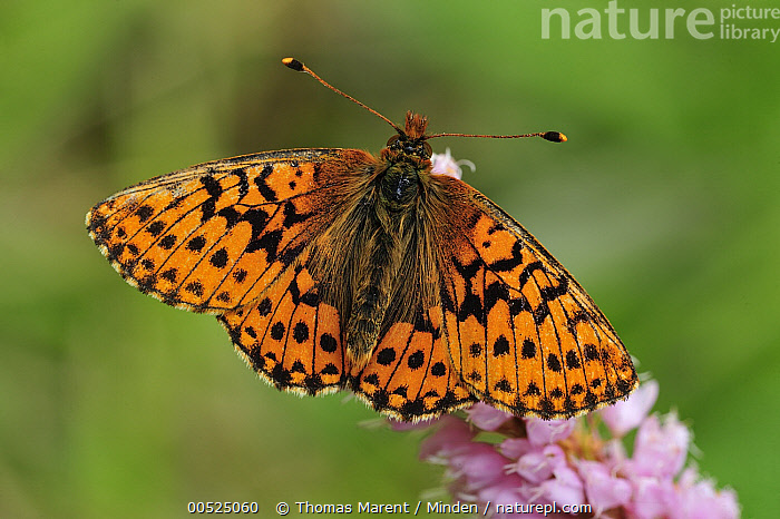 Shepherd's Fritillary (Boloria pales) buttefly, Switzerland  ,  Adult, Boloria pales, Butterfly, Color Image, Day, Full Length, Horizontal, Nobody, One Animal, Outdoors, Photography, Shepherd's Fritillary, Switzerland, Top View, Wildlife, Wings Open,Shepherd's Fritillary,Switzerland,Adult, Boloria pales, Butterfly, Color Image, Day, Full Length, Horizontal, Nobody, One Animal, Outdoors, Photography, Shepherd's Fritillary, Switzerland, Top View, Wildlife, Wings Open  ,  Thomas Marent