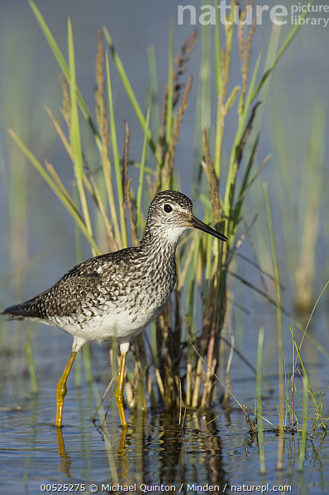 Lesser Yellowlegs (Tringa flavipes) in wetland, Alaska  ,  Adult, Alaska, Color Image, Day, Full Length, Lesser Yellowlegs, Nobody, One Animal, Outdoors, Photography, Shorebird, Side View, Tringa flavipes, Vertical, Wildlife,Lesser Yellowlegs,Alaska, USA  ,  Michael Quinton