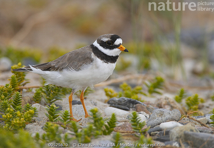 Common Ringed Plover (Charadrius hiaticula), Mecklenburg Vorpommern, Germany, Adult, Charadrius hiaticula, Color Image, Common Ringed Plover, Day, Full Length, Germany, Horizontal, Mecklenburg Vorpommern, Nobody, One Animal, Outdoors, Photography, Shorebird, Side View, Wildlife,Common Ringed Plover,Germany, Chris Romeiks