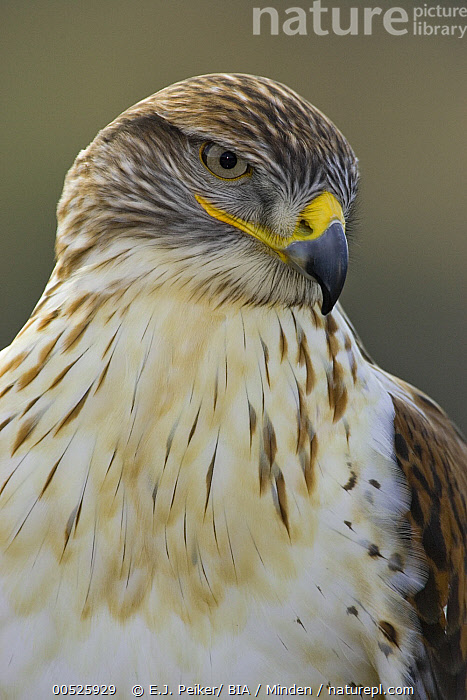 Ferruginous Hawk (Buteo regalis), Arizona  ,  Adult, Arizona, Buteo regalis, Color Image, Day, Ferruginous Hawk, Front View, Head and Shoulders, Nobody, One Animal, Outdoors, Photography, Portrait, Raptor, Vertical, Wildlife,Ferruginous Hawk,Arizona, USA,Adult, Arizona, Buteo regalis, Color Image, Day, Ferruginous Hawk, Front View, Head and Shoulders, Nobody, One Animal, Outdoors, Photography, Portrait, Raptor, Vertical, Wildlife  ,  E.J. Peiker