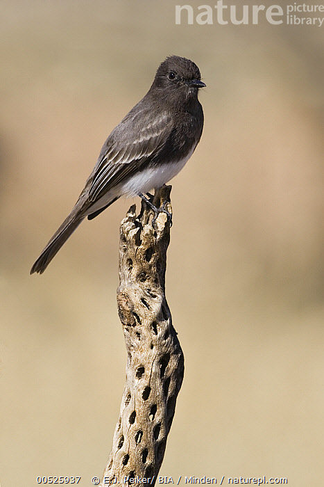 Black Phoebe (Sayornis nigricans), Arizona  ,  Adult, Arizona, Black Phoebe, Color Image, Day, Full Length, Nobody, One Animal, Outdoors, Photography, Sayornis nigricans, Side View, Vertical, Wildlife,Black Phoebe,Arizona, USA,Adult, Arizona, Black Phoebe, Color Image, Day, Full Length, Nobody, One Animal, Outdoors, Photography, Sayornis nigricans, Side View, Vertical, Wildlife  ,  E.J. Peiker