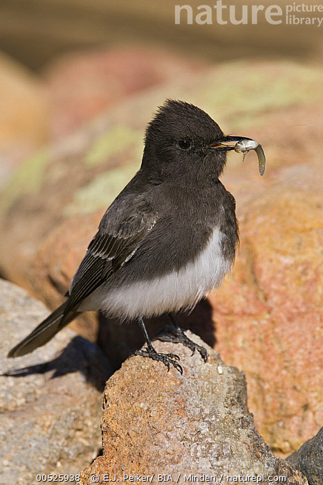 Black Phoebe (Sayornis nigricans) carrying a small fish, an unusual diet item, Arizona  ,  Adult, Arizona, Black Phoebe, Carrying, Color Image, Day, Feeding, Fish, Full Length, Nobody, One Animal, Outdoors, Photography, Sayornis nigricans, Side View, Vertical, Wildlife,Black Phoebe,Arizona, USA,Adult, Arizona, Black Phoebe, Carrying, Color Image, Day, Feeding, Fish, Full Length, Nobody, One Animal, Outdoors, Photography, Sayornis nigricans, Side View, Vertical, Wildlife  ,  E.J. Peiker