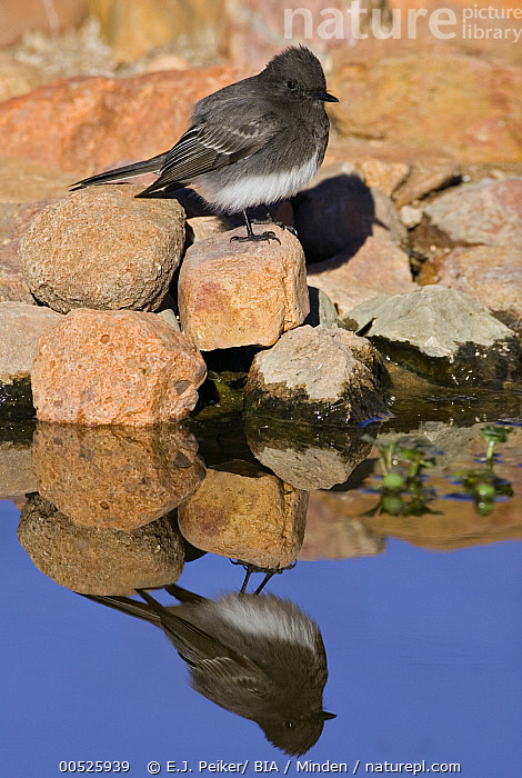 Black Phoebe (Sayornis nigricans), Arizona  ,  Adult, Arizona, Black Phoebe, Color Image, Creek, Day, Full Length, Nobody, One Animal, Outdoors, Photography, Reflection, Sayornis nigricans, Side View, Vertical, Wildlife,Black Phoebe,Arizona, USA,Adult, Arizona, Black Phoebe, Color Image, Creek, Day, Full Length, Nobody, One Animal, Outdoors, Photography, Reflection, Sayornis nigricans, Side View, Vertical, Wildlife  ,  E.J. Peiker