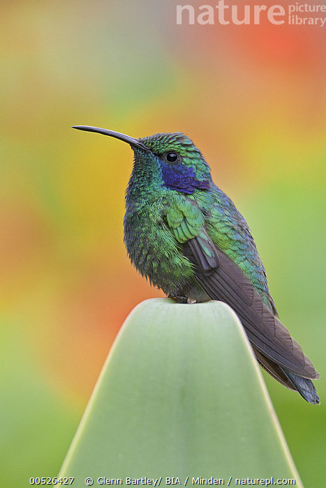 Green Violet-ear (Colibri thalassinus), Costa Rica  ,  Adult, Colibri thalassinus, Color Image, Costa Rica, Day, Full Length, Green Violet-ear, Nobody, One Animal, Outdoors, Photography, Side View, Vertical, Wildlife,Green Violet-ear,Costa Rica  ,  Glenn Bartley
