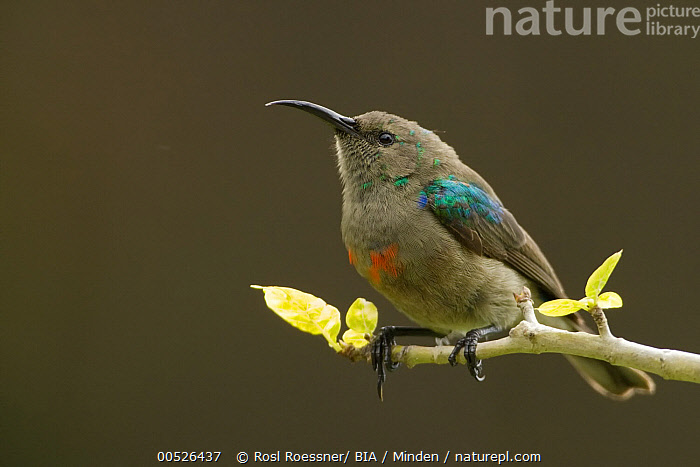 Southern Double-collared Sunbird (Cinnyris chalybeus) male in eclipse plumage, South Africa  ,  Adult, Cinnyris chalybeus, Color Image, Day, Full Length, Horizontal, Male, Nobody, One Animal, Outdoors, Photography, Side View, South Africa, Southern Double-collared Sunbird, Wildlife,Southern Double-collared Sunbird,South Africa,Adult, Cinnyris chalybeus, Color Image, Day, Full Length, Horizontal, Male, Nobody, One Animal, Outdoors, Photography, Side View, South Africa, Southern Double-collared Sunbird, Wildlife  ,  Rosl Roessner