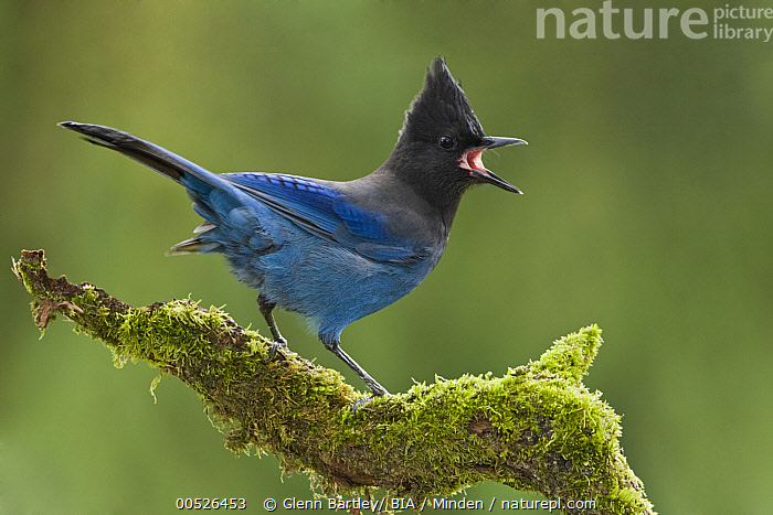Steller's Jay (Cyanocitta stelleri) calling, British Columbia, Canada  ,  Adult, British Columbia, Calling, Canada, Color Image, Cyanocitta stelleri, Day, Full Length, Horizontal, Nobody, One Animal, Outdoors, Photography, Side View, Songbird, Steller's Jay, Vocalising, Wildlife,Steller's Jay,Canada,Adult, British Columbia, Calling, Canada, Color Image, Cyanocitta stelleri, Day, Full Length, Horizontal, Nobody, One Animal, Outdoors, Photography, Side View, Songbird, Steller's Jay, Vocalising, Wildlife  ,  Glenn Bartley