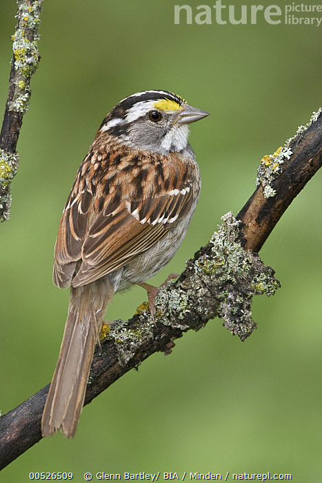 White-throated Sparrow (Zonotrichia albicollis), Manitoba, Canada  ,  Adult, Canada, Color Image, Day, Full Length, Manitoba, Nobody, One Animal, Outdoors, Photography, Side View, Songbird, Vertical, White-throated Sparrow, Wildlife, Zonotrichia albicollis,White-throated Sparrow,Canada,Adult, Canada, Color Image, Day, Full Length, Manitoba, Nobody, One Animal, Outdoors, Photography, Side View, Songbird, Vertical, White-throated Sparrow, Wildlife, Zonotrichia albicollis  ,  Glenn Bartley