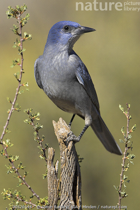 Pinyon Jay (Gymnorhinus cyanocephalus), Oregon  ,  Adult, Color Image, Day, Front View, Full Length, Gymnorhinus cyanocephalus, Nobody, One Animal, Oregon, Outdoors, Photography, Pinyon Jay, Songbird, Threatened Species, Vertical, Vulnerable Species, Wildlife,Pinyon Jay,Oregon, USA,Adult, Color Image, Day, Front View, Full Length, Gymnorhinus cyanocephalus, Nobody, One Animal, Oregon, Outdoors, Photography, Pinyon Jay, Songbird, Threatened Species, Vertical, Vulnerable Species, Wildlife  ,  Glenn Bartley