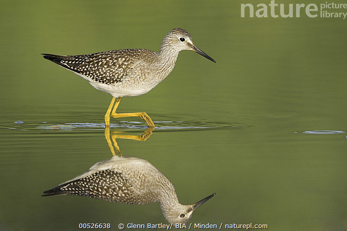 Lesser Yellowlegs (Tringa flavipes), Ontario, Canada  ,  Adult, Canada, Color Image, Day, Full Length, Horizontal, Lesser Yellowlegs, Nobody, One Animal, Ontario, Outdoors, Photography, Reflection, Shorebird, Side View, Symmetry, Tringa flavipes, Wading, Wildlife,Lesser Yellowlegs,Canada,Adult, Canada, Color Image, Day, Full Length, Horizontal, Lesser Yellowlegs, Nobody, One Animal, Ontario, Outdoors, Photography, Reflection, Shorebird, Side View, Symmetry, Tringa flavipes, Wading, Wildlife  ,  Glenn Bartley