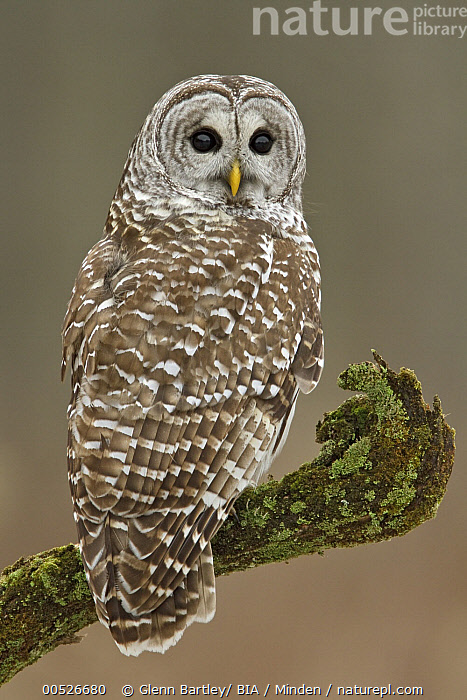 Barred Owl (Strix varia), Ontario, Canada, Adult, Barred Owl, Canada, Color Image, Day, Full Length, Nobody, One Animal, Ontario, Outdoors, Owl, Photography, Raptor, Side View, Strix varia, Vertical, Wildlife,Barred Owl,Canada, Glenn Bartley