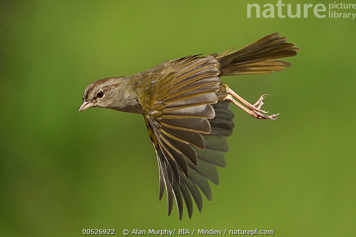 Olive Sparrow (Arremonops rufivirgatus) flying, Texas  ,  Adult, Arremonops rufivirgatus, Color Image, Day, Flying, Full Length, Horizontal, Motion, Nobody, Olive Sparrow, One Animal, Outdoors, Photography, Side View, Songbird, Texas, Wildlife,Olive Sparrow,Texas, USA  ,  Alan Murphy