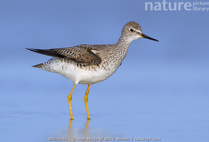 Lesser Yellowlegs (Tringa flavipes), Texas  ,  Adult, Color Image, Day, Full Length, Horizontal, Lesser Yellowlegs, Nobody, One Animal, Outdoors, Photography, Shorebird, Side View, Texas, Tringa flavipes, Wildlife,Lesser Yellowlegs,Texas, USA,Adult, Color Image, Day, Full Length, Horizontal, Lesser Yellowlegs, Nobody, One Animal, Outdoors, Photography, Shorebird, Side View, Texas, Tringa flavipes, Wildlife  ,  Alan Murphy