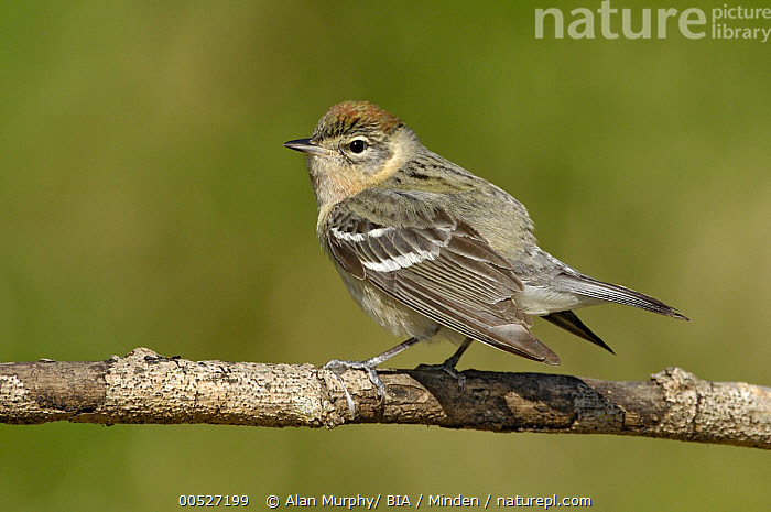 Bay-breasted Warbler (Setophaga castanea), Texas  ,  Adult, Bay-breasted Warbler, Color Image, Day, Full Length, Horizontal, Nobody, One Animal, Outdoors, Photography, Setophaga castanea, Side View, Texas, Wildlife,Bay-breasted Warbler,Texas, USA,Adult, Bay-breasted Warbler, Color Image, Day, Full Length, Horizontal, Nobody, One Animal, Outdoors, Photography, Setophaga castanea, Side View, Texas, Wildlife  ,  Alan Murphy