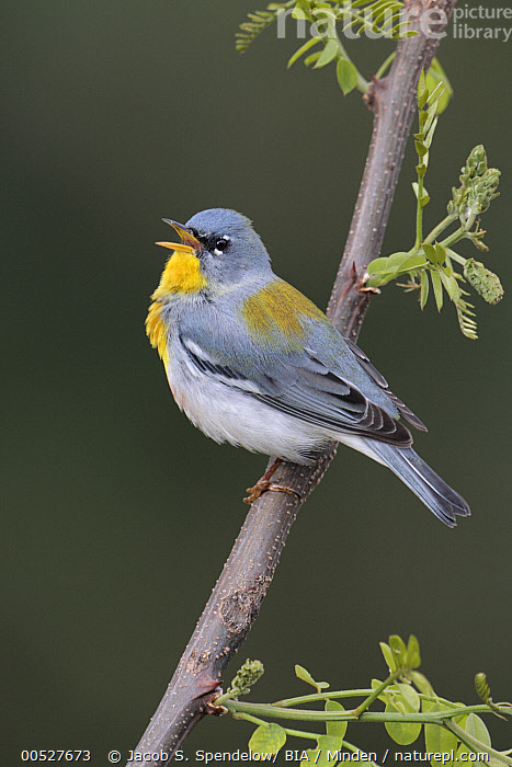 Northern Parula (Setophaga americana) male singing, West Virginia  ,  Adult, Color Image, Day, Full Length, Male, Nobody, Northern Parula, One Animal, Outdoors, Photography, Setophaga americana, Side View, Singing, Vertical, West Virginia, Wildlife,Northern Parula,West Virginia, USA,Adult, Color Image, Day, Full Length, Male, Nobody, Northern Parula, One Animal, Outdoors, Photography, Setophaga americana, Side View, Singing, Vertical, West Virginia, Wildlife  ,  Jacob S. Spendelow