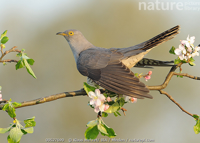 Common Cuckoo (Cuculus canorus), Baden-Wurttemberg, Germany  ,  Adult, Baden-Wurttemberg, Color Image, Common Cuckoo, Cuculus canorus, Day, Full Length, Germany, Horizontal, Nobody, One Animal, Outdoors, Photography, Side View, Wildlife,Common Cuckoo,Germany,Adult, Baden-Wurttemberg, Color Image, Common Cuckoo, Cuculus canorus, Day, Full Length, Germany, Horizontal, Nobody, One Animal, Outdoors, Photography, Side View, Wildlife  ,  Klaus Mehret