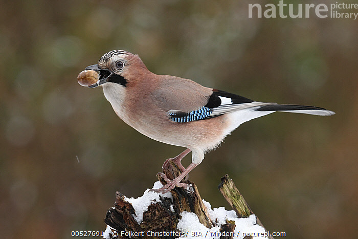 Eurasian Jay (Garrulus glandarius) carrying food, Lower Saxony, Germany  ,  Adult, Carrying, Color Image, Day, Eurasian Jay, Food, Full Length, Garrulus glandarius, Germany, Horizontal, Lower Saxony, Nobody, One Animal, Outdoors, Photography, Side View, Songbird, Wildlife,Eurasian Jay,Germany  ,  Folkert Christoffers