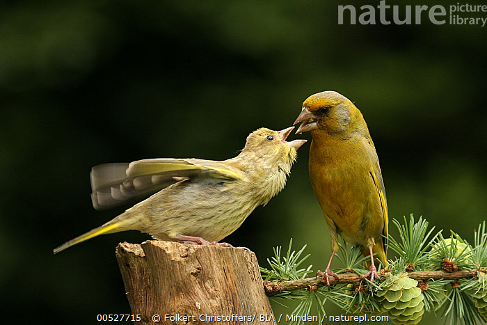 European Greenfinch (Chloris chloris) feeding juvenile, Lower Saxony, Germany  ,  Adult, Chloris chloris, Color Image, Day, European Greenfinch, Feeding, Front View, Full Length, Germany, Horizontal, Juvenile, Lower Saxony, Nobody, Outdoors, Parent, Photography, Side View, Togetherness, Two Animals, Wildlife,European Greenfinch,Germany  ,  Folkert Christoffers