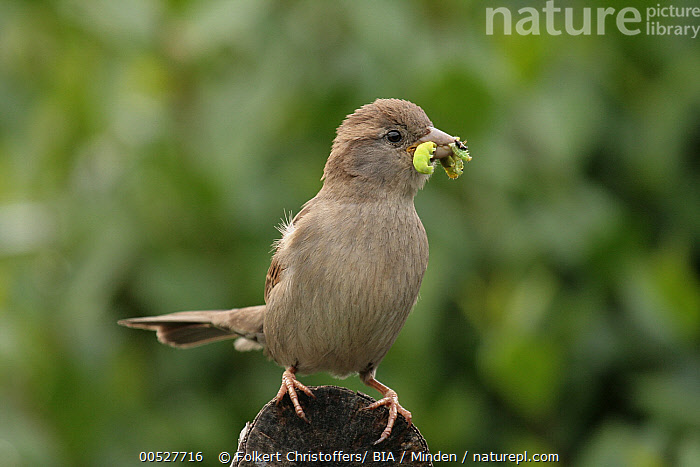 House Sparrow (Passer domesticus) carrying caterpillars, Lower Saxony, Germany  ,  Adult, Caterpillar, Color Image, Day, Female, Food, Front View, Full Length, Germany, Horizontal, House Sparrow, Lower Saxony, Nobody, One Animal, Outdoors, Passer domesticus, Photography, Songbird, Wildlife,House Sparrow,Germany  ,  Folkert Christoffers