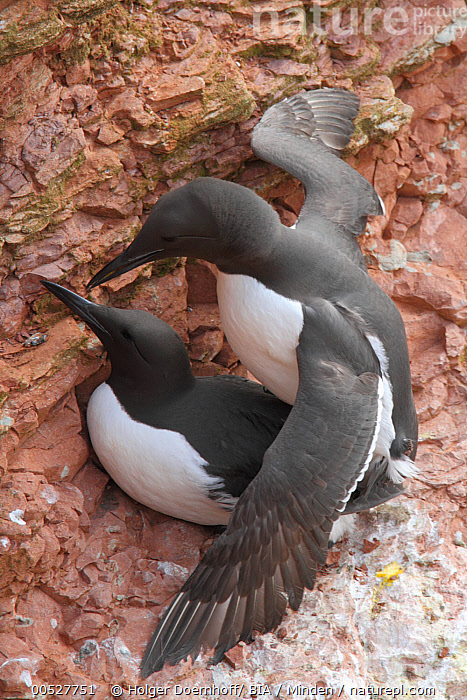 Common Murre (Uria aalge) pair mating at cliff nest, Schleswig-Holstein, Germany  ,  Adult, Cliff, Color Image, Common Murre, Copulating, Day, Full Length, Germany, Mating, Nest, Nobody, Outdoors, Pair, Photography, Schleswig-Holstein, Side View, Togetherness, Two Animals, Uria aalge, Vertical, Wildlife,Common Murre,Germany  ,  Holger Doernhoff