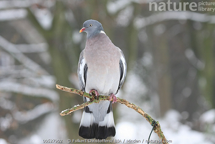 Common Wood-pigeon (Columba palumbus), Lower Saxony, Germany  ,  Adult, Color Image, Columba palumbus, Common Wood-Pigeon, Day, Front View, Full Length, Germany, Horizontal, Lower Saxony, Nobody, One Animal, Outdoors, Photography, Wildlife,Common Wood-pigeon,Germany  ,  Folkert Christoffers