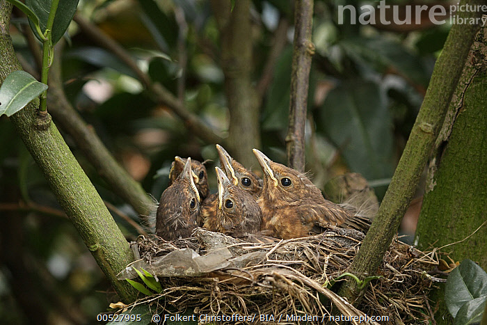 Eurasian Blackbird (Turdus merula) chicks in nest, Lower Saxony, Germany  ,  Baby, Chick, Color Image, Day, Eurasian Blackbird, Full Length, Germany, Horizontal, Juvenile, Lower Saxony, Medium Group of Animals, Nest, Nobody, Outdoors, Photography, Side View, Songbird, Turdus merula, Wildlife,Eurasian Blackbird,Germany  ,  Folkert Christoffers