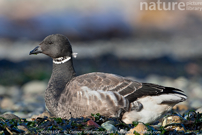 Black Brant (Branta nigricans), British Columbia, Canada  ,  Adult, Black Brant, Branta nigricans, British Columbia, Canada, Color Image, Day, Full Length, Horizontal, Nobody, One Animal, Outdoors, Photography, Side View, Waterfowl, Wildlife,Black Brant,Canada  ,  Connor Stefanison