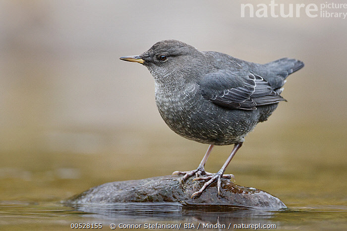 American Dipper (Cinclus mexicanus) juvenile, British Columbia, Canada  ,  American Dipper, British Columbia, Canada, Cinclus mexicanus, Color Image, Day, Full Length, Horizontal, Juvenile, Nobody, One Animal, Outdoors, Photography, Side View, Songbird, Wildlife,American Dipper,Canada  ,  Connor Stefanison
