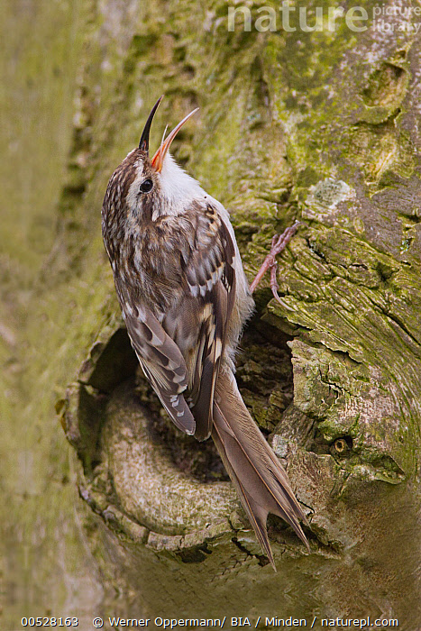Short-toed Tree-Creeper (Certhia brachydactyla) calling, Lower Saxony, Germany  ,  Adult, Calling, Certhia brachydactyla, Color Image, Day, Full Length, Germany, Lower Saxony, Nobody, One Animal, Outdoors, Photography, Short-toed Tree-Creeper, Side View, Songbird, Vertical, Wildlife,Short-toed Tree-Creeper,Germany  ,  Werner Oppermann