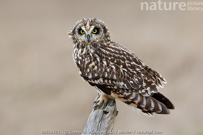 Short-eared Owl (Asio flammeus), British Columbia, Canada  ,  Adult, Asio flammeus, British Columbia, Canada, Color Image, Day, Full Length, Horizontal, Nobody, One Animal, Outdoors, Owl, Photography, Raptor, Short-eared Owl, Side View, Wildlife,Short-eared Owl,Canada  ,  Connor Stefanison