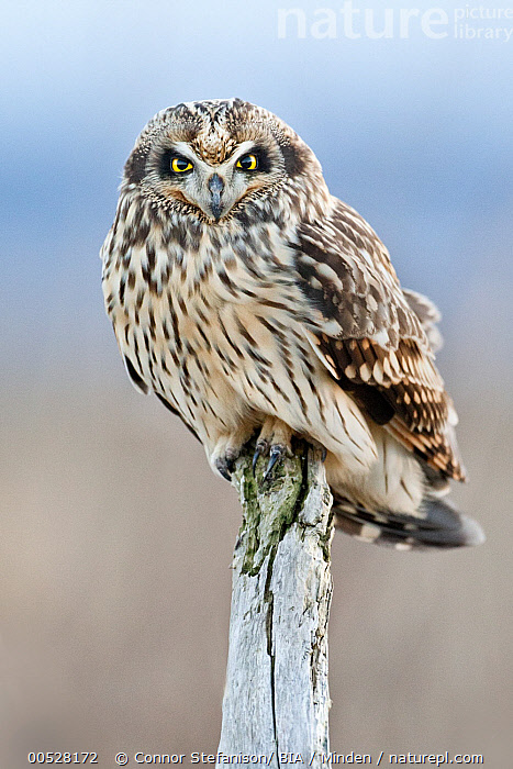 Short-eared Owl (Asio flammeus), British Columbia, Canada  ,  Adult, Asio flammeus, British Columbia, Canada, Color Image, Day, Front View, Full Length, Looking at Camera, Nobody, One Animal, Outdoors, Owl, Photography, Raptor, Short-eared Owl, Vertical, Wildlife,Short-eared Owl,Canada  ,  Connor Stefanison