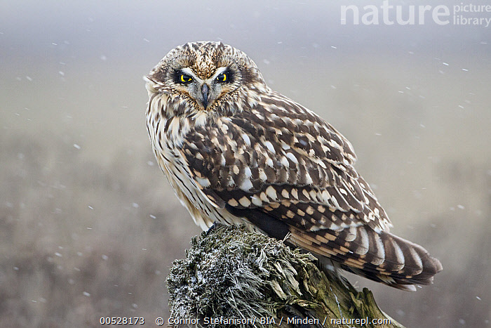 Short-eared Owl (Asio flammeus), British Columbia, Canada  ,  Adult, Asio flammeus, British Columbia, Canada, Color Image, Day, Full Length, Horizontal, Looking at Camera, Nobody, One Animal, Outdoors, Owl, Photography, Raptor, Short-eared Owl, Side View, Wildlife,Short-eared Owl,Canada  ,  Connor Stefanison