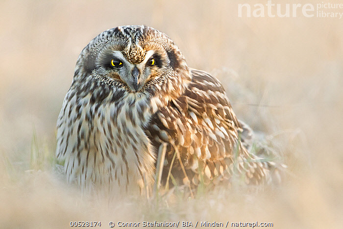 Short-eared Owl (Asio flammeus), British Columbia, Canada  ,  Adult, Asio flammeus, British Columbia, Canada, Color Image, Day, Front View, Horizontal, Nobody, One Animal, Outdoors, Owl, Photography, Raptor, Short-eared Owl, Waist Up, Wildlife,Short-eared Owl,Canada,Adult, Asio flammeus, British Columbia, Canada, Color Image, Day, Front View, Horizontal, Nobody, One Animal, Outdoors, Owl, Photography, Raptor, Short-eared Owl, Waist Up, Wildlife  ,  Connor Stefanison