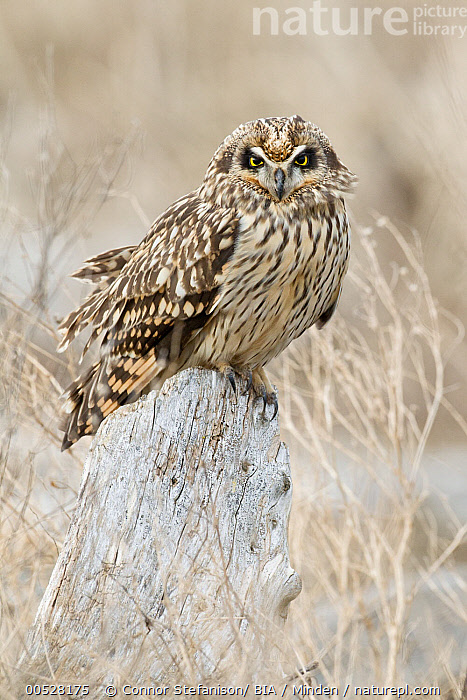 Short-eared Owl (Asio flammeus), British Columbia, Canada  ,  Adult, Asio flammeus, British Columbia, Canada, Color Image, Day, Full Length, Nobody, One Animal, Outdoors, Owl, Photography, Raptor, Short-eared Owl, Side View, Vertical, Wildlife,Short-eared Owl,Canada  ,  Connor Stefanison