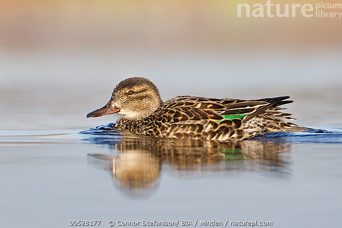 Green-winged Teal (Anas carolinensis) female, British Columbia, Canada  ,  Adult, Anas carolinensis, British Columbia, Canada, Color Image, Day, Female, Full Length, Green-winged Teal, Horizontal, Nobody, One Animal, Outdoors, Photography, Side View, Wildlife,Green-winged Teal,Canada  ,  Connor Stefanison