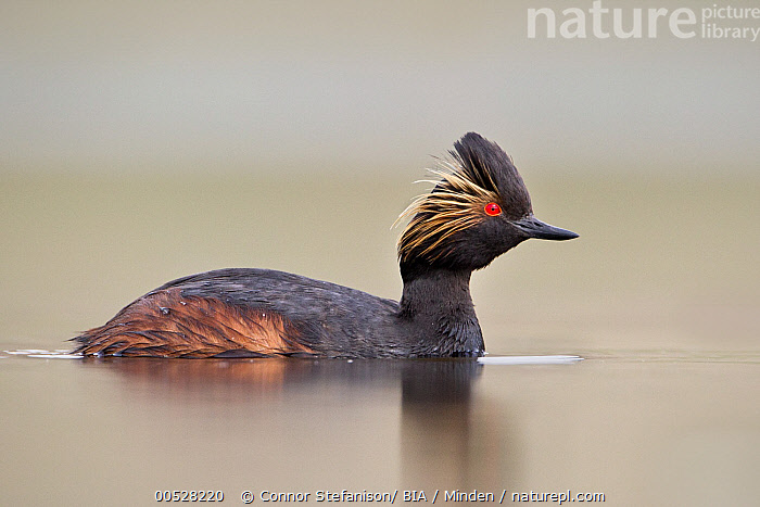 Eared Grebe (Podiceps nigricollis), British Columbia, Canada  ,  Adult, Breeding Plumage, British Columbia, Canada, Color Image, Day, Eared Grebe, Full Length, Horizontal, Nobody, One Animal, Outdoors, Photography, Podiceps nigricollis, Side View, Water Bird, Wildlife,Eared Grebe,Canada  ,  Connor Stefanison