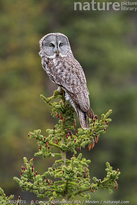 Great Gray Owl (Strix nebulosa), British Columbia, Canada  ,  Adult, British Columbia, Canada, Color Image, Day, Full Length, Great Gray Owl, Nobody, One Animal, Outdoors, Owl, Photography, Raptor, Side View, Strix nebulosa, Vertical, Wildlife,Great Gray Owl,Canada  ,  Connor Stefanison