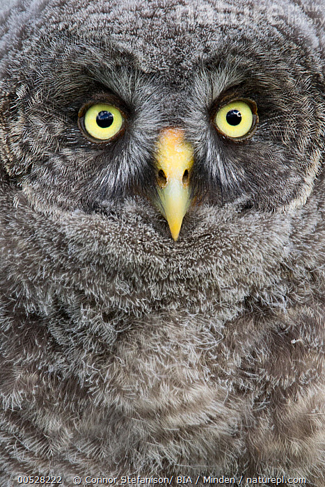 Great Gray Owl (Strix nebulosa) chick, British Columbia, Canada  ,  British Columbia, Canada, Chick, Close Up, Color Image, Day, Face, Front View, Great Gray Owl, Juvenile, Looking at Camera, Nobody, One Animal, Outdoors, Owl, Photography, Portrait, Raptor, Strix nebulosa, Symmetry, Vertical, Wildlife,Great Gray Owl,Canada  ,  Connor Stefanison