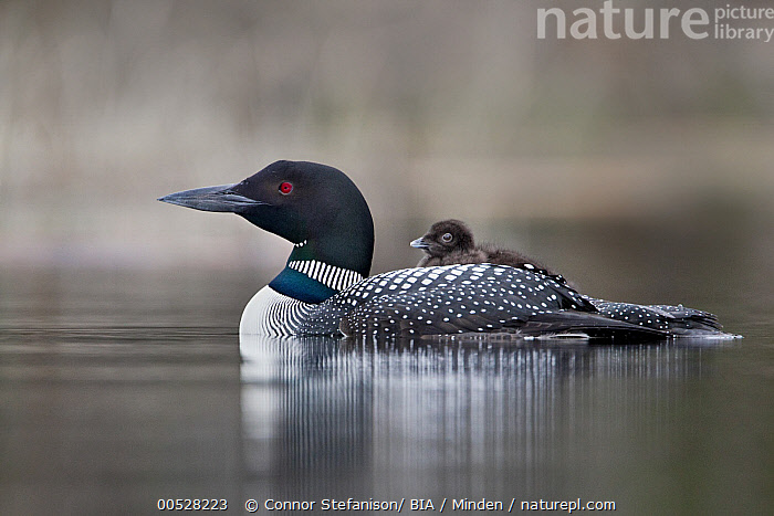 Common Loon (Gavia immer) carrying chick on back, British Columbia, Canada  ,  Adult, British Columbia, Canada, Carrying, Chick, Color Image, Common Loon, Day, Full Length, Gavia immer, Horizontal, Nobody, Outdoors, Parent, Photography, Side View, Togetherness, Two Animals, Water Bird, Wildlife,Common Loon,Canada  ,  Connor Stefanison